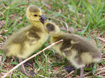Cute pair of chicks of Canada geese Stock Photos