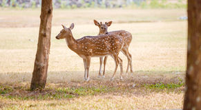 Cute Pair of Deers in the Park Royalty Free Stock Photography