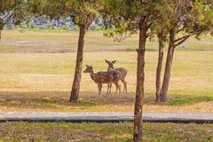 Cute Pair of Deers in the Park Royalty Free Stock Photos