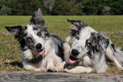 Cute pair of dogs stock image
