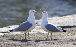 Cute pair of gulls on the shore Stock Image