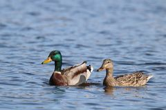A Cute Pair of Mallard Ducks Swimming Together on a Blue Lake. A pair of mallard ducks swimming together on a blue lake Stock Photo