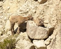 Cute pair of rocky mountain bighorn lambs stock image