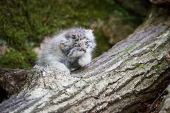 Cute pallas cat kitten playing Royalty Free Stock Photo