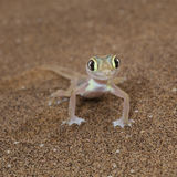 Cute Palmato gecko lizard front view Royalty Free Stock Photography