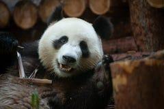 Free Cute Panda Bear Portrait Stock Photo - 158995880
