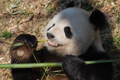Cute Panda Bear with Very Sharp Teeth Eating Bamboo. Adorable giant panda bear eating shoots of bamboo royalty free stock image