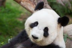 Cute Panda Bear. Walking in the park stock photos