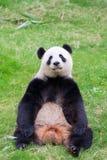 Cute Panda Bear Stock Image