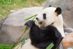 Cute Panda Bear Stock Images