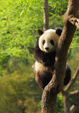 Cute panda cub. Silly-looking cute panda cub sitting on a tree Royalty Free Stock Photo