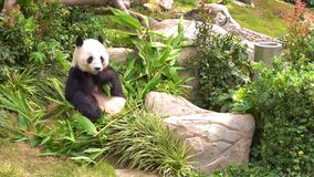 Cute panda is eating bamboo for lunch stock footage