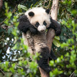 Cute Panda Royalty Free Stock Photos