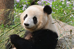 Cute panda look back Royalty Free Stock Image