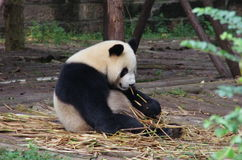 Cute pandas. He is eating bamboos Stock Photo
