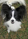 Cute Papillon dog. Portrait of cute papillon dog on green grass royalty free stock photos