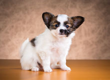 Cute Papillon puppy Stock Photo