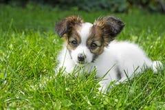Cute papillon puppy Royalty Free Stock Photos