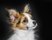Cute papillon puppy Royalty Free Stock Images