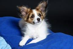 Cute papillon puppy Stock Photo