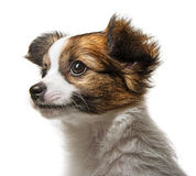 Cute papillon puppy Stock Photography
