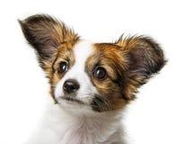 Cute papillon puppy Stock Photos
