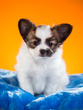 Cute Papillon puppy on a orange background Stock Images