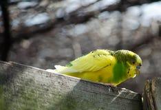 Cute parakeet Royalty Free Stock Image
