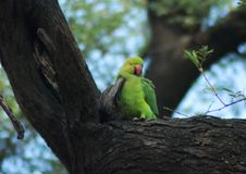 Cute parakeet royalty free stock images