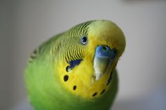 Cute parakeet Close Up Stock Photo High Quality royalty free stock image