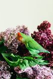 Cute parrot lovebirds sitting on a bouquet of lilac stock photos