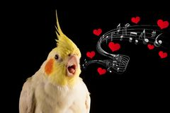 Cute Parrot Memes, Cockatiel Portrait Singing with hearts and music notes, meme, props