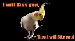 Cute Parrot Quote, Funny Cockatiel, cute parrot posing for the camera, studio, isolated on black background. I will kiss. I will bite you stock photos