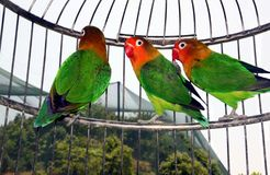 Cute parrots in a cage. Cage with three cute parrots from inside Royalty Free Stock Photography