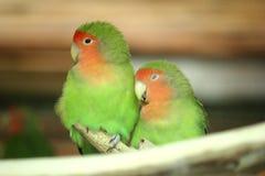 Cute parrots. Cute couple of small parrots stock images