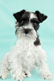 Cute Parti Color Miniature Schnauzer Royalty Free Stock Photo