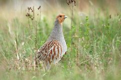 Cute partridge Royalty Free Stock Photography