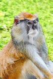 Cute Patas monkey. Royalty Free Stock Photos