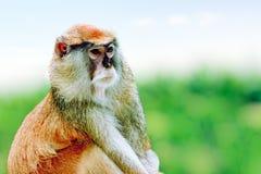 Cute Patas monkey. Royalty Free Stock Photo