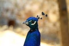 Cute Peacock Bird. Living in castle , bodrum, turkey stock image