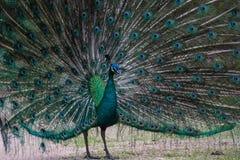 A cute peacock dancing Stock Image