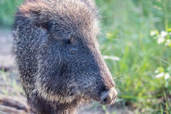 A Cute Peccary Closeup Stock Image