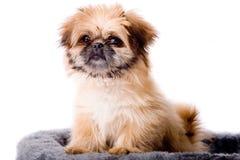Cute Pekingese Dog Stock Photography