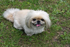 Cute Pekingese dog on green grass. Pekingese looking up and waiting to be given a treat Royalty Free Stock Photography