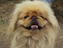 Cute pekingese. Dog smiling happily and squints Stock Photo