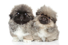 Cute Pekingese puppies portrait Stock Photos