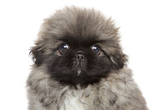 Cute Pekingese puppy stock photography