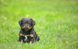Cute pekingese puppy dog Stock Images