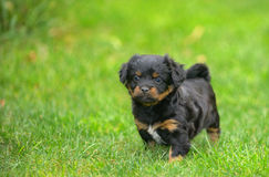 Cute pekingese puppy dog. On grass Stock Photos