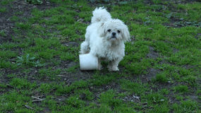 Cute Pekingese. Small white dog in the green lawn Royalty Free Stock Photo